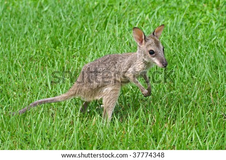 Agile wallaby joey, Kakadu National Park, Australia