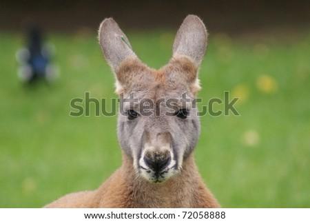 Agile Wallaby - Macropus agilis