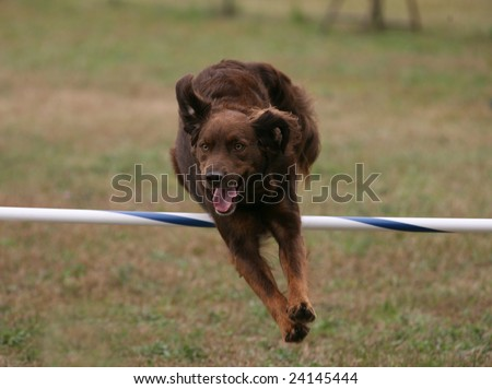 Agility Dog Clearing a Jump