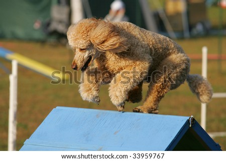 Agility dog clears A-Frame in Competition