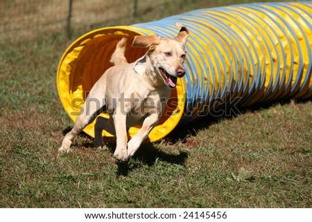 Agility Dog Exiting a Tunnel