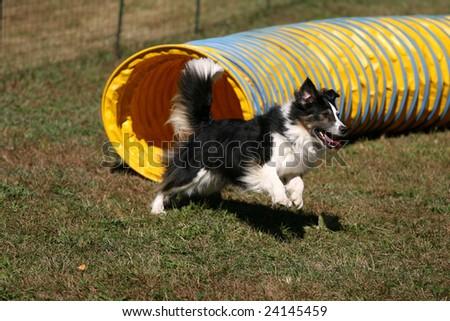 Agility Dog Exiting a Tunnel