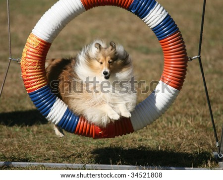 Agility Dog Jumping Through Hoop