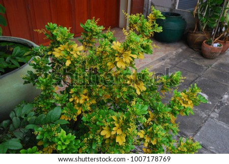 Bush of dark green leaves with a little of light green