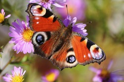 Aglais io or European Peacock Butterfly or Peacock. Butterfly on flower. A brightly lit red-brown orange butterfly with blue lilac spots on its spread wings sits on purple yellow flowers in sunlight.