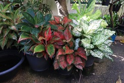 Aglaonema, Chinese Evergreen, A low bush plant in a decorative pot in the garden with morning light. Close up beautiful green-red-white leaves of Aglaonema or Chinese evergreen tree in pot in garden