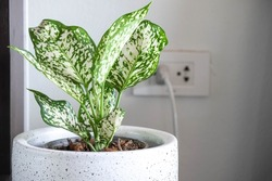 Aglaonema foliage in pot at home, Spring Snow Chinese Evergreen, Exotic tropical leaf, Chinese Evergreen background