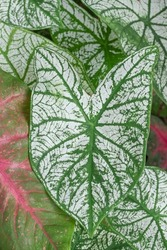 Aglaonema foliage, Spring Snow Chinese Evergreen, Exotic tropical leaf, Chinese Evergreen background