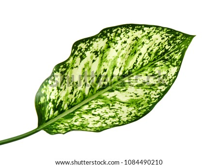 Aglaonema foliage, Spring Snow Chinese Evergreen, Exotic tropical leaf, isolated on white background with clipping path                     #1084490210