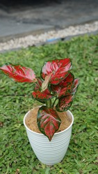 Aglaonema Red Anjamani Plant Grows in white Pot, Photo with Bokeh or Blur Effect.