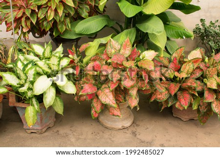 Aglaonema Red Valentine and Dieffenbachia camilla plants in pots at indoor ornamental garden house. Chinese Evergreens (Aglaonema) are hugely popular houseplants due to beautiful colorful leaves. Foto stock ©
