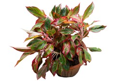 Aglaonema Siam Aurora plant which leaves have green striped, red border. Chinese Evergreens (Aglaonema) are hugely popular house plants due to beautiful colorful leaves. On white background. Thailand.