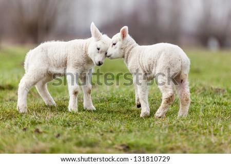Agnello Sheep