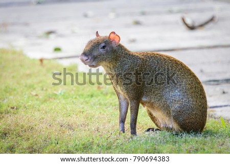 Agouti agoutis or Sereque rodent sitting on the grass. Rodents of the Caribbean. Copy space