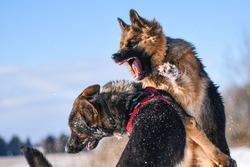 Agressive dogs. Dog attack. Dog fight. German shepherd in winter
