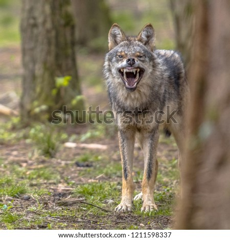 Agressive European grey Wolf (Canis lupus) growling from behand tree as warning of defense. Vicious teeth are shown to scare off the attacker. Instagram format