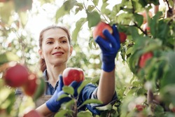 Agribusiness, farm business and harvest industry. Cheerful young attractive lady farmer in gloves picks red organic apples from tree with green leaves in sun light on fruit plantation or garden