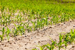 agricultural activity related to the cultivation of sweet corn, farming and tillage to produce a high yield of corn, which is used for food and feed for livestock, closeup