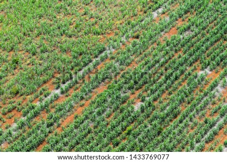 Agricultural areas in rural areas of Thailand,Sugarcane cultivation farm,Rural areas outside the city,aerial photograph