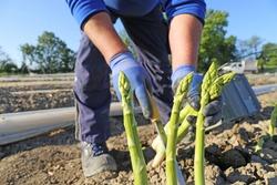 Agricultural asparagus harvest: Workers harvesting green asparagus