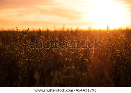 agricultural background, ears of oats at sunset. macestic sunset on the agricultural field. dramatic picturesque scene. used as background. retro style. vintage creative effect #454431796