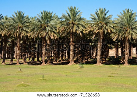 date palm in desert. agricultural date palm