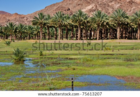 agricultural date palm farm in dry semi-desert of Northern Cape in South Africa