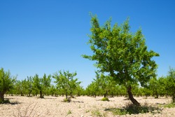 Agricultural field of trees in Zaragoza Province, Aragon in Spain.
