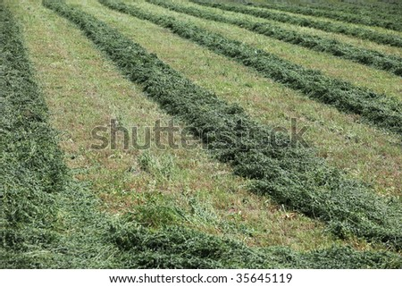 Agricultural field on a farm of cut alfalfa in rows, close. Green fields being harvested for animal feed.  Late summer harvest outside. Nature and agriculture farming. - stock photo