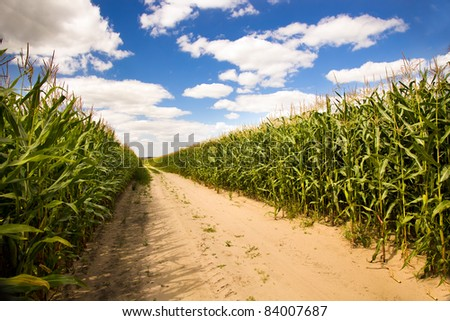 Agricultural field on which the green corn grows - stock photo