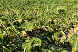 agricultural field where a large number of green sluggish beets grow, dehydrated sluggish beets in an agricultural field due to hot weather, agriculture