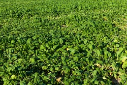 agricultural field where a large number of green sluggish beets grow, dehydrated sluggish beets in an agricultural field due to hot weather, agriculture closeup