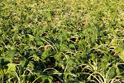 agricultural field where a large number of green sluggish beets grow, dehydrated sluggish beets in an agricultural field due to hot weather, farming with problems in obtaining yields