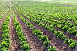 agricultural field where breeding varieties of potato plants are grown, small plants on fertile soils, obtaining a crop of high-quality food potatoes