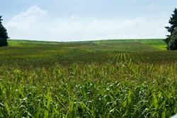 agricultural field where green corn grows , agriculture for obtaining grain crops, corn young and still immature, agricultural field sown with corn