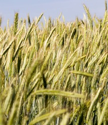 agricultural field where green rye grows, farming for grain harvest, rye is young and green and still immature, close-up of rye crop against the sky