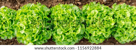 Agricultural field with Green leaf lettuce on garden bed in vegetable field.  Gardening  background with lettuce green plants, top view banner #1156922884