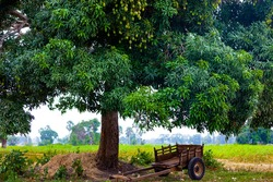agricultural gardens a mango tree standing beside a cart to gather fruit.