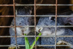Agricultural industry. Breeding rabbits at home. Two gray rabbits sitting in a closed cage and eating grass close-up.