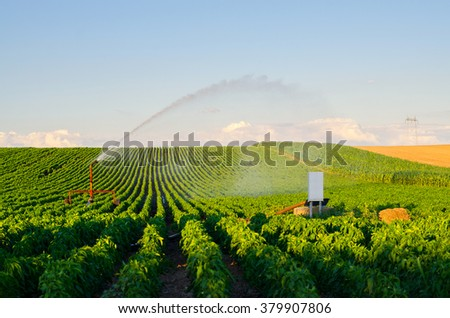 Agricultural irrigation system watering field of paprika on sunny summer day.