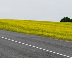 Agricultural land along the paved road. A yellow rapeseed field with a lonely oak in the distance.
