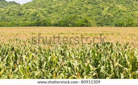 Agricultural landscape of corn field in Thailand