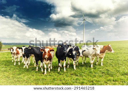 Agricultural landscape with herd of cows looking at camera