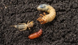 Agricultural pests on the soil. May bug larvae, pupa moth and european mole cricket.