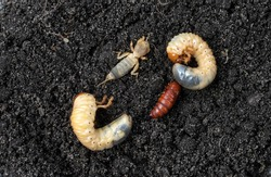 Agricultural pests on the soil. May bug larvae, pupa moth and european mole cricket. Selective focus.