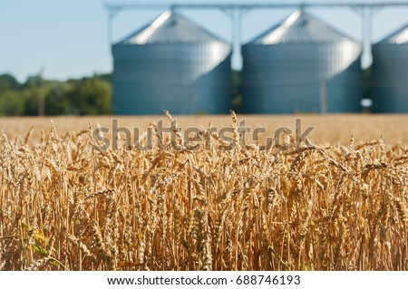 Agricultural Silo, foregro plantations. Set of storage tanks cultivated agricultural crops processing plant. Building Exterior, Storage and drying of grains, wheat, corn, soy, hay #688746193