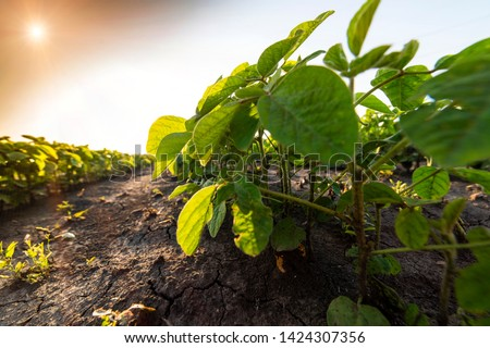 Agricultural soy plantation on sunny day - Green growing soybeans plant against sunlight  Foto stock ©