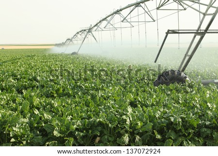 Agricultural sprinklers watering a field of sugar beets