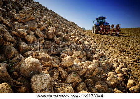 Agricultural vehicle harvesting sugar beet