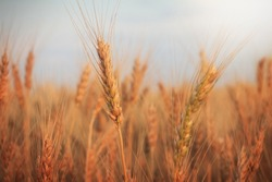 Agricultural wheat field at sunset. Wheat field background. Rural crop cultivation. Autumn landscape with golden ears of wheat.Wheat ears close-up.